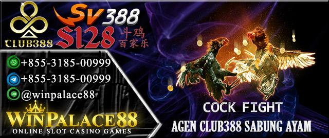 Agen Club388 Sabung Ayam